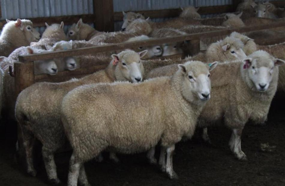 Perendale 2-tooth ewes on display at the Mitchell family's Clinton farm.
