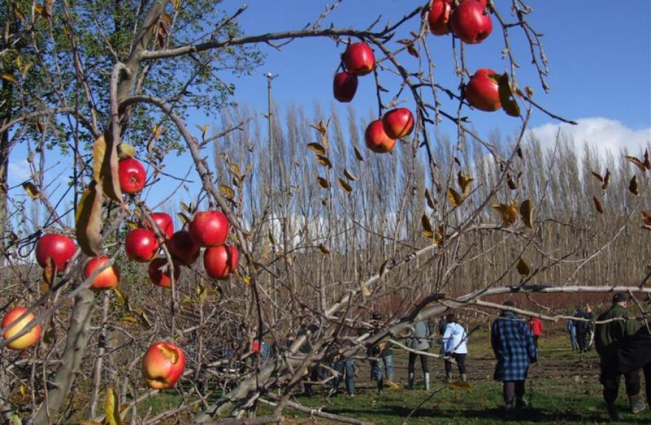 Field day attendees walk past apple trees during an orchard walk at McIntosh Orchard. Photos by...