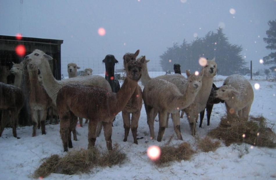 Alpacas enjoying a dry hay feed in the snow at the top of Three Mile Hill Road, Dunedin