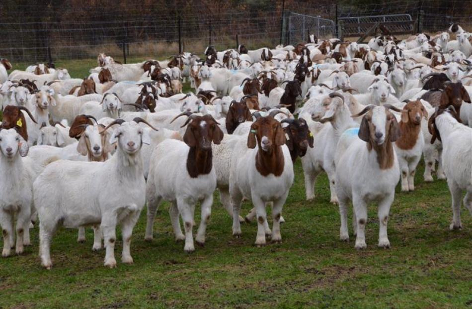Boer goats on display at Dave Aitken's Boer goat farm at Gibbston. Photo by Jeremy Blandford.