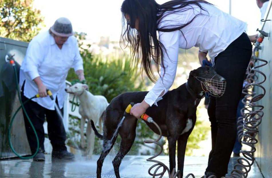 May Cutler hoses down Starburst Hannah, as greyhounds and their handlers spend the afternoon at...
