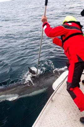 Niwa scientist Dr Malcolm Francis tags a great white shark. Photo by Warrick Lyon, Niwa.