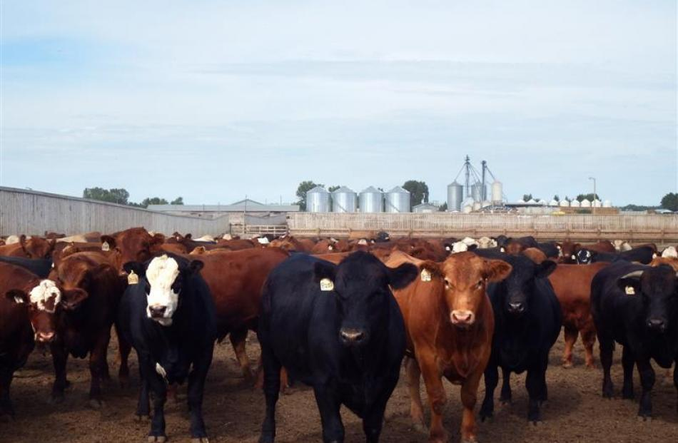 A beef feedlot in the extremely intensively farmed ''feedlot alley'' area of Southern Alberta.