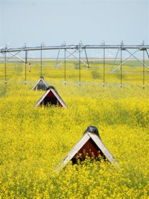 An irrigated canola crop in Alberta pollinated by leaf-cutter bees which live in ''houses'' in...