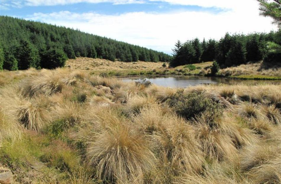 A pond that is home to freshwater crayfish in Avondale Forest in Southland. Photos supplied.