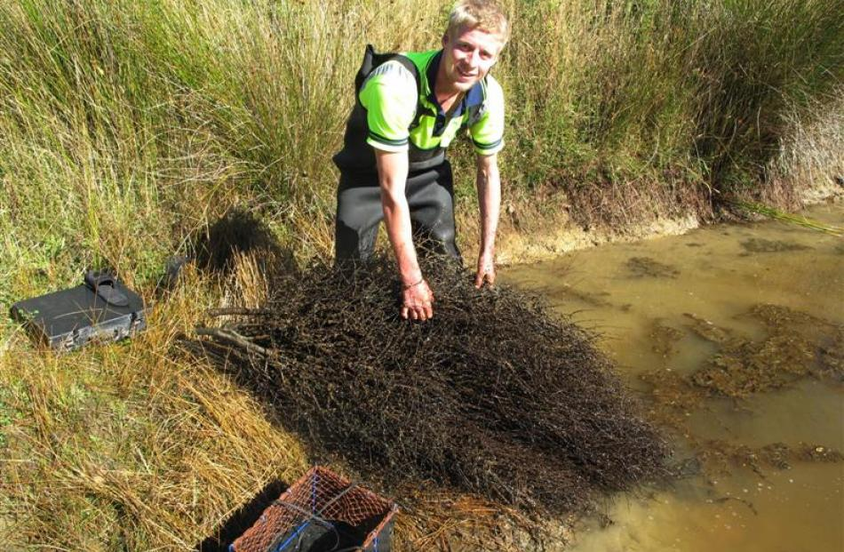 Callum Kyle samples juvenile freshwater crayfish in a refuge in Avondale Forest in Southland.