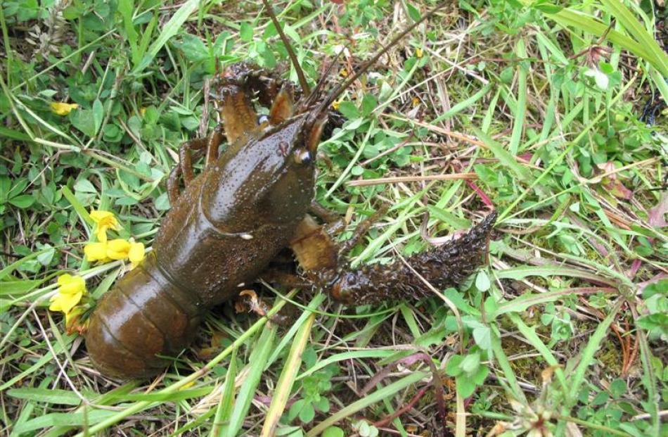 Saleable freshwater crayfish.