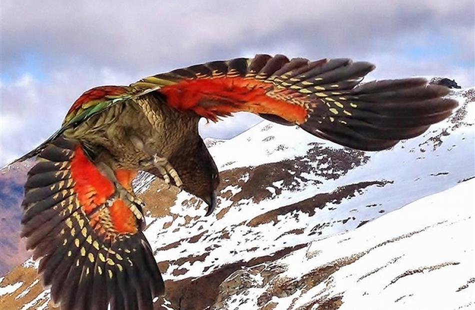 Another different kea in flight.