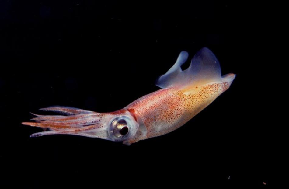 Firefly squid.