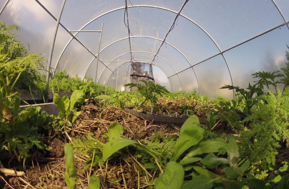 Putting a handful of compost in the hole when seedlings are planted produces strong, healthy plants.