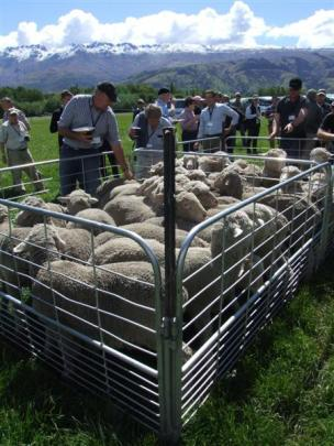 Merino sheep on display at Willowbank, near Tarras,  during a  field day as part of the New...
