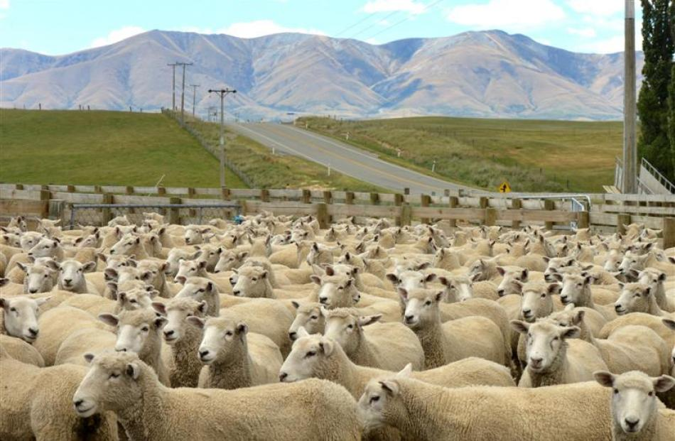 Some of the Lindsay family's sheep on display at the Sir Geoffrey Peren Cup field day in the...