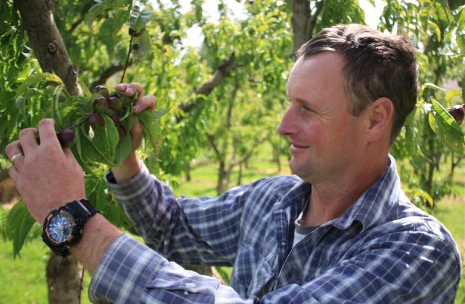 Simon Webb inspects nectarines during thinning in mid-November.