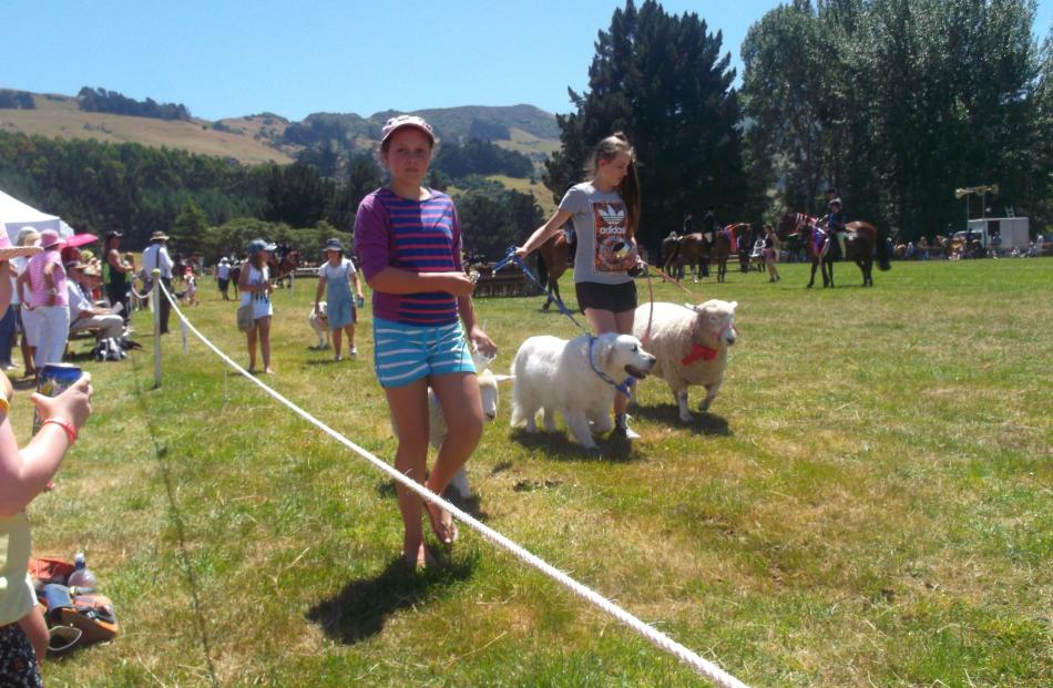 Pet sheep and dogs are led in the grand parade at the Duvauchelle A&P Show.