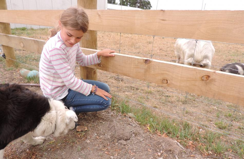 Jazz the Border collie is determined to distract Hakataramea Valley visitor Abbi Murdoch (10)...