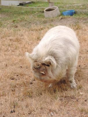 Wilbur, a 4-year-old kunekune pig, is one of the most popular animals on the farm.