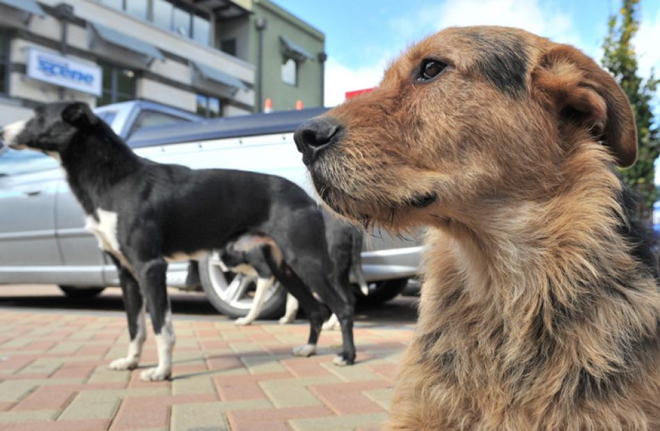 Hank and Rise (in background) wait for the sheep to arrive in Athol St.