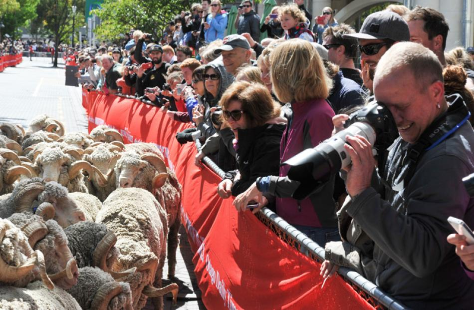 The crowd are delighted by the merino rams from Bendigo Station.
