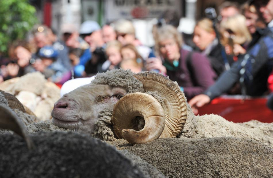 A merino ram in the mob.