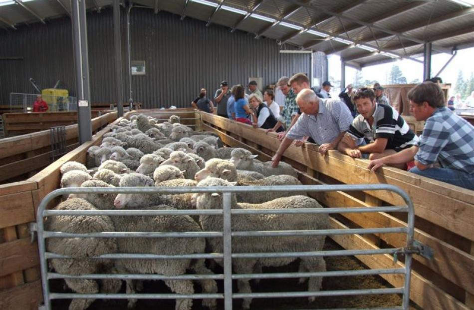 Sheep are inspected during an Otago Merino Association field day at Lake Ohau Station.