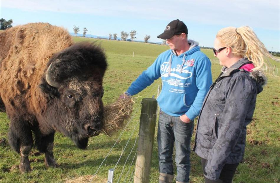 Bobo the bison with his owners Blair and Nadia Wisely on their farm at Fairfax, near Invercargill...