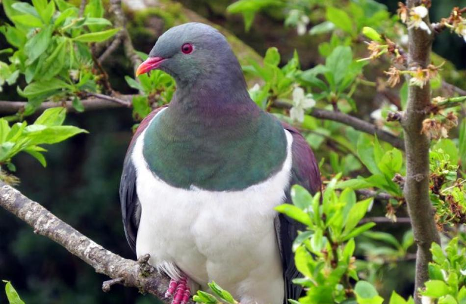A rehabilitated kereru (native wood pigeon)waits in the apple tree for the morning food dish to...