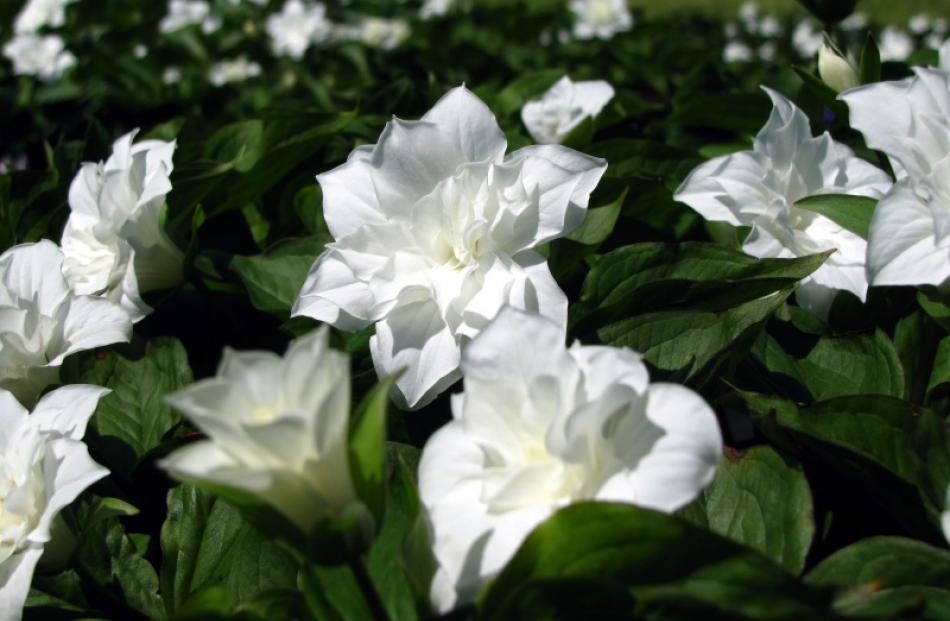 T. grandiflorum Flore Pleno, propagated by James Urquhart, of Hawea. Photo by Mark Price.