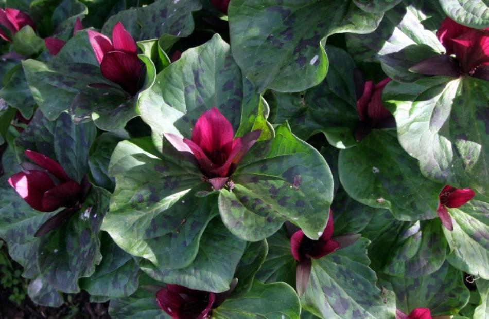 Trillium chloropetalum is popular for its large red or white flowers and sweet perfume. Photo by...