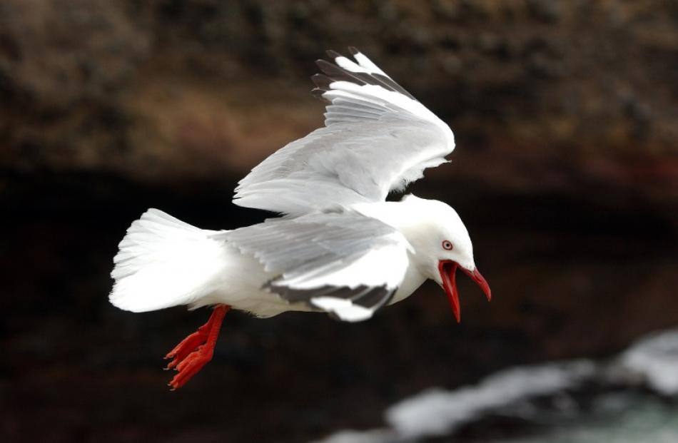 Red-billed gulls, among other seabirds, are struggling.