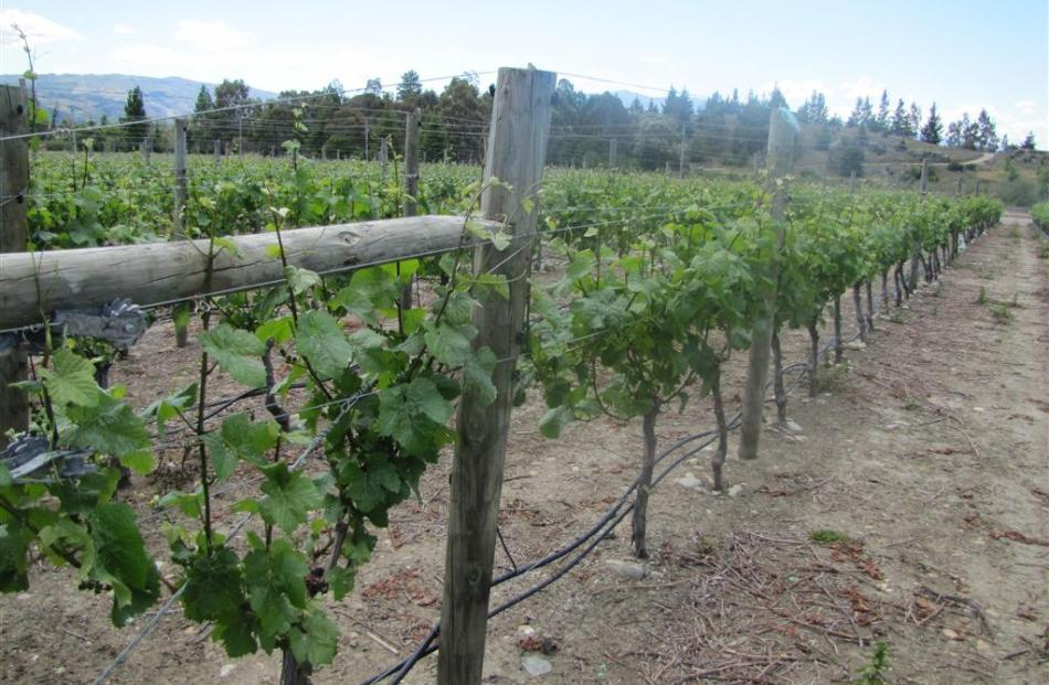 Pinot noir grapevines at the Como Estate Vineyard, which may have been planted in wine grapes as...
