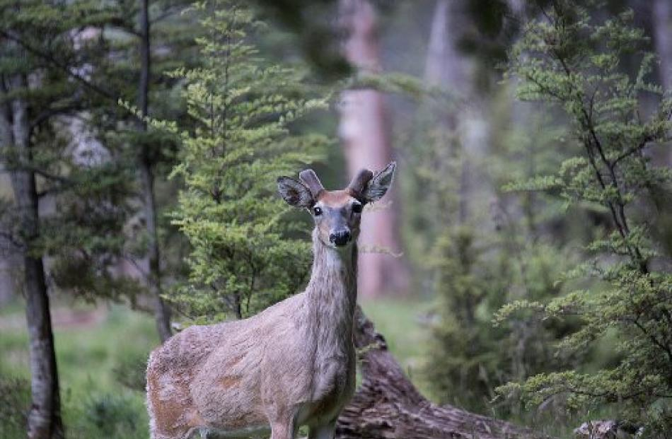 A white-tailed deer. Photo by Stan McDonald.