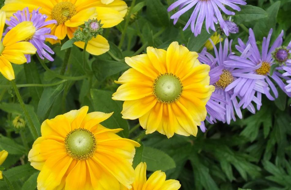 Teamed with lavender-blue Michaelmas daisy, a golden gaillardia is a standout.