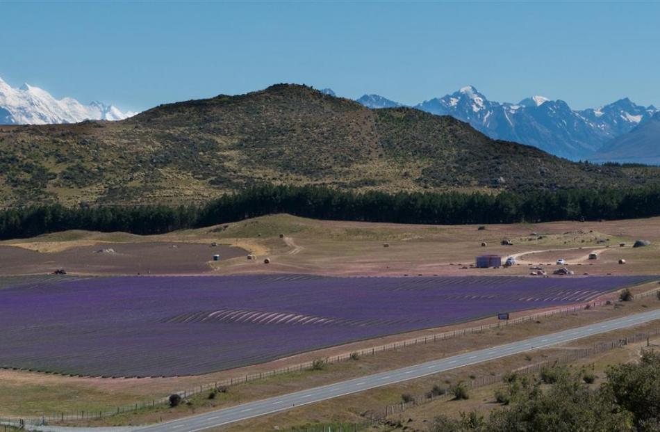 The New Zealand Alpine Lavender organic farm in full bloom.