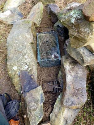 A novel trap set and bait: a stone cairn containing Fenn traps and two caged live mice.