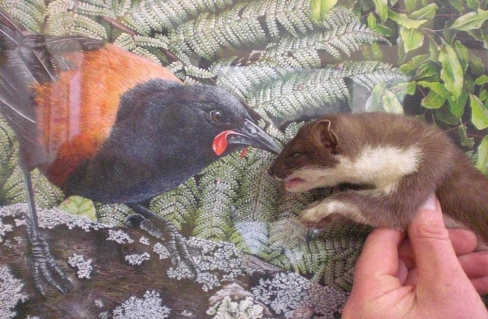 Not very good bedmates. Stoats may like saddleback but not the other way around.
