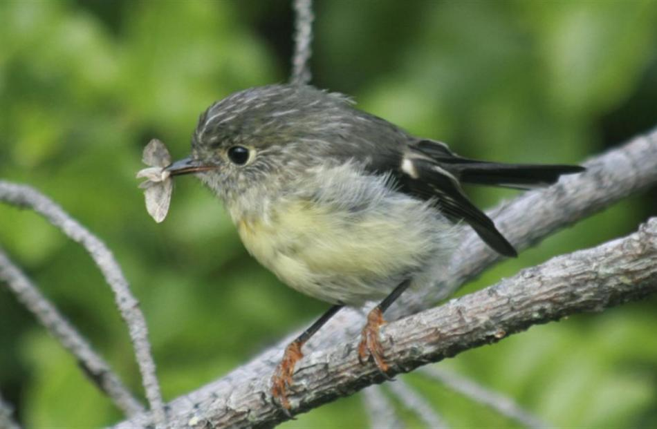 A female tomtit at Orokonui Ecosanctuary with a newly caught moth. Photo: Neville Peat.