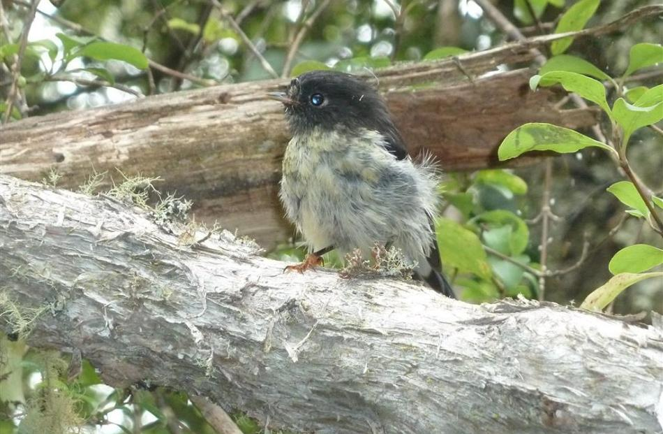 A quiet moment in the bush: a juvenile South Island tomtit perches to preen and lose a few baby...