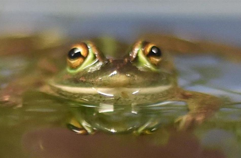 The Wild Dunedin nature festival event ''Fabulous Wild Frogs'' at the Hutton Theatre on Saturday...