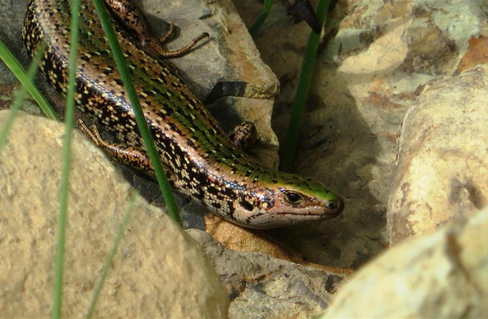 The green skink, named for the green band running down its back, is the latest newcomer to...