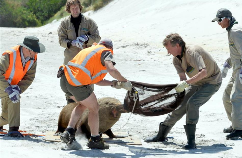 A fur seal involved in a fracas.
