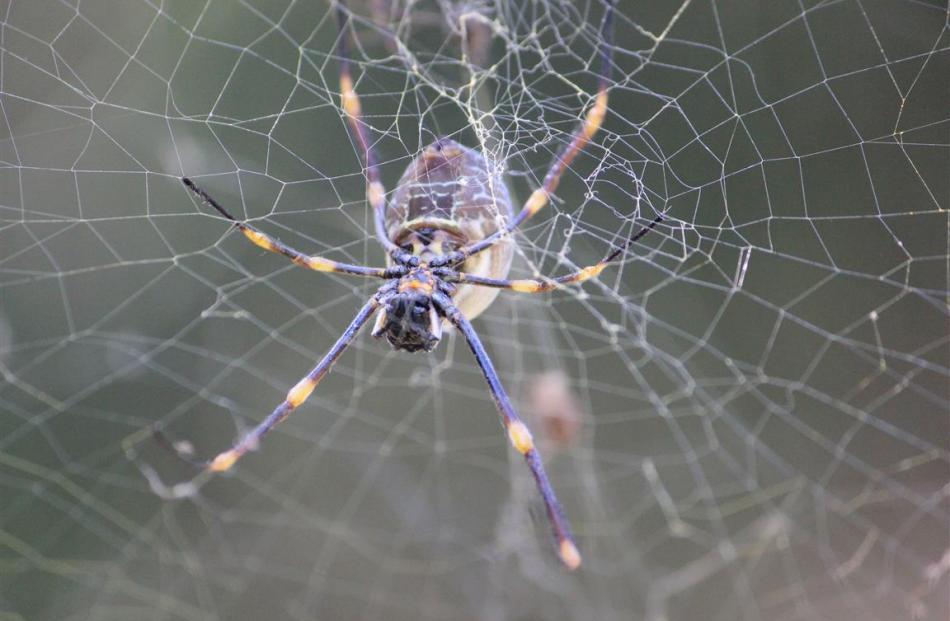 A golden orb spider weaves its magic. PHOTO: JOHN BECKHAM