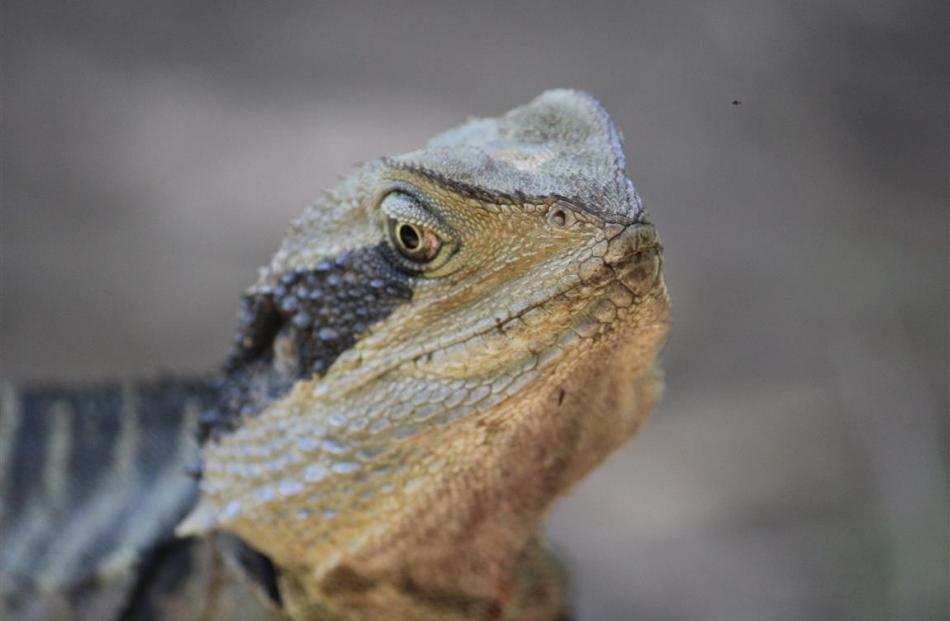 An Eastern water dragon.  PHOTO: JOHN BECKHAM