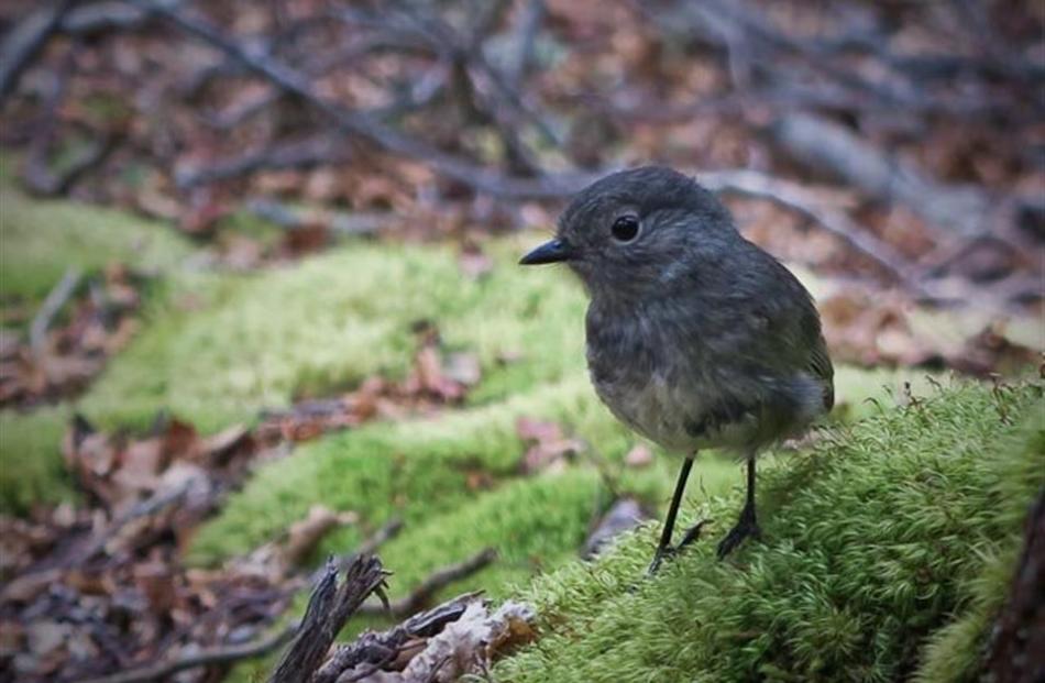 A South Island robin in the Matukituki Valley.