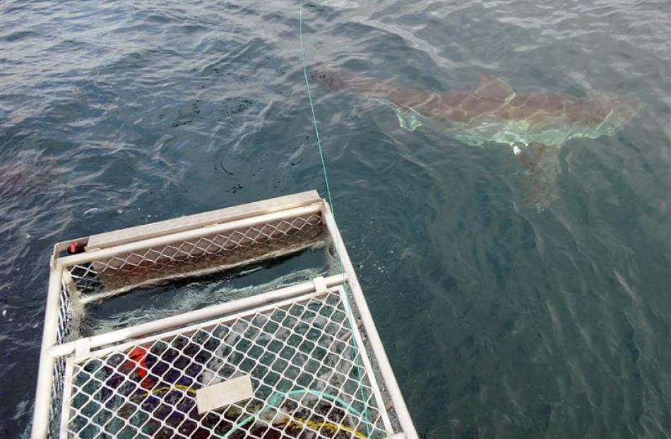 Two divers watch from the cage as a white pointer shark cruises past. Photo by Stephen Jaquiery.