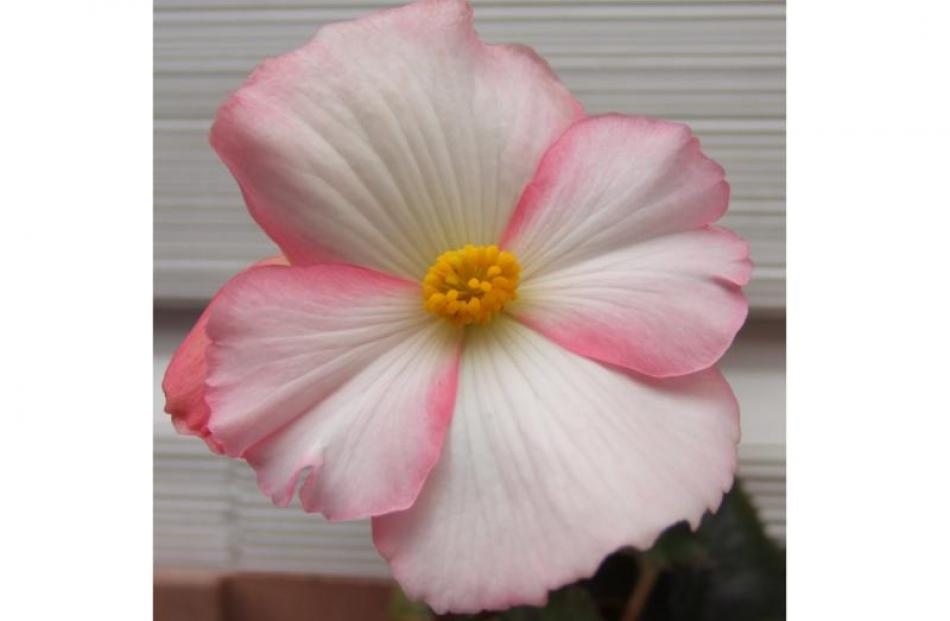 A single begonia shows its stripes.