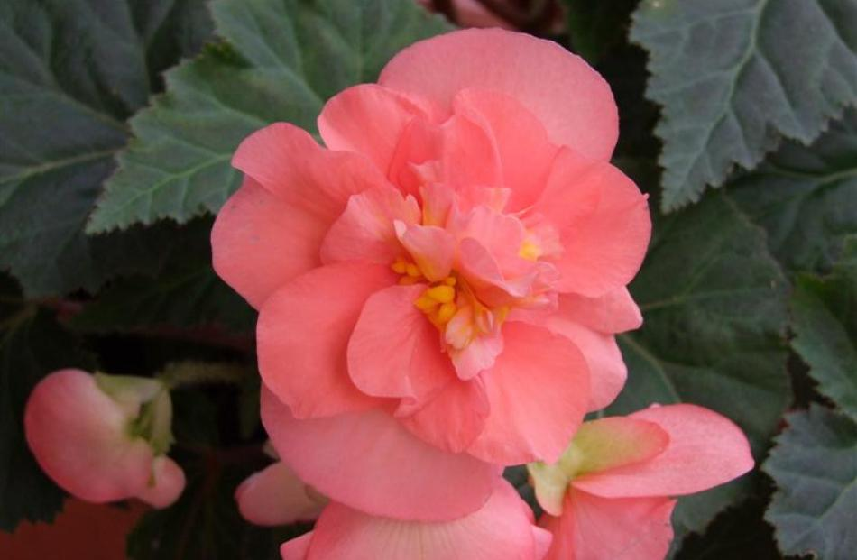 Begonias come in pink, white, red, orange and yellow shades.