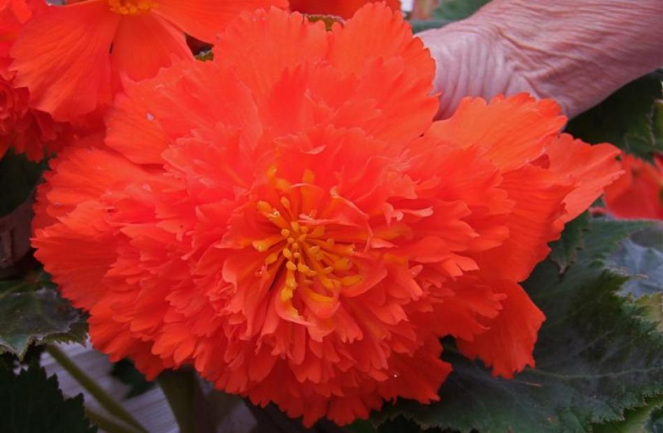 Fully double begonias, like the one above, are similar in shape to the paeonies Sylvia Lobb loves.