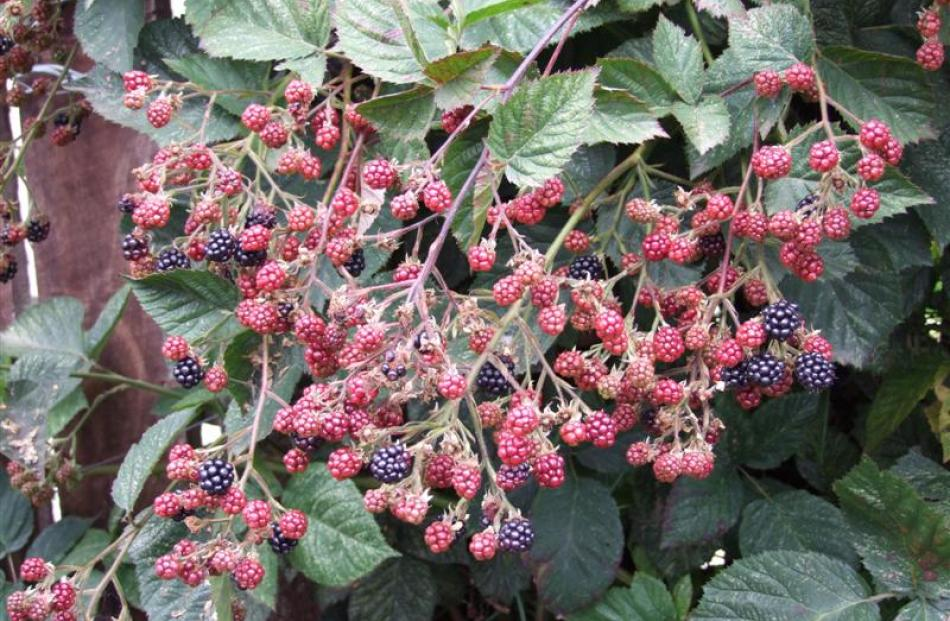 Grown from a cutting the Lobbs brought from Rotorua, this blackberry is a reliable, heavy cropper.