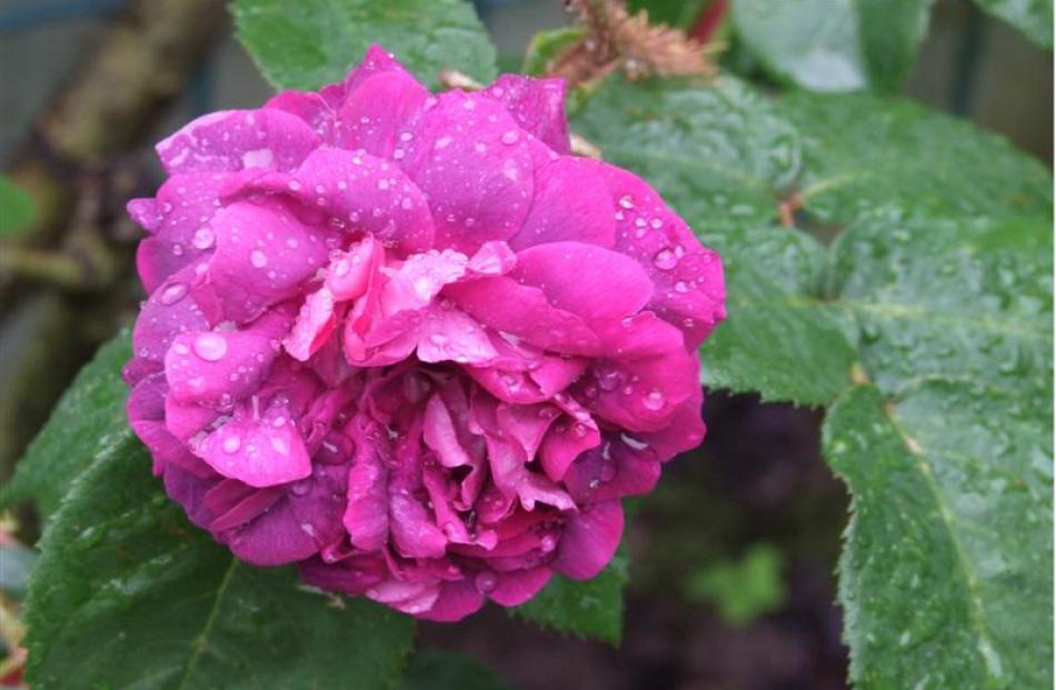 With its name William Lobb, Ron and Sylvia Lobb had to have this rose for their Mosgiel garden.