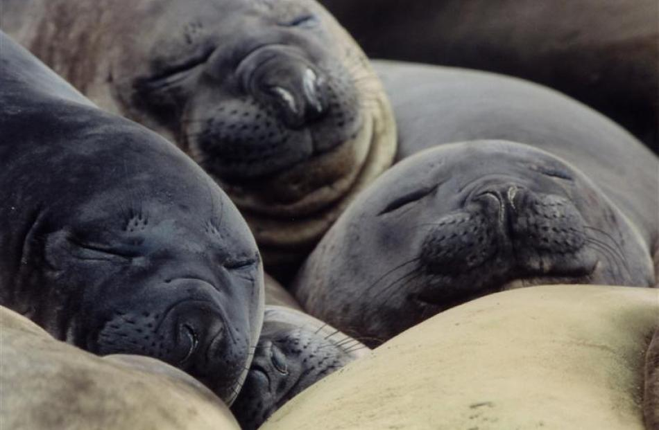 Slumbering seals (2003)... Photographing elephant seals is easy but getting the composition right...